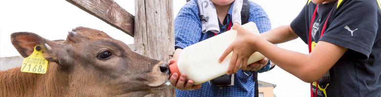 仔牛のミルクやり